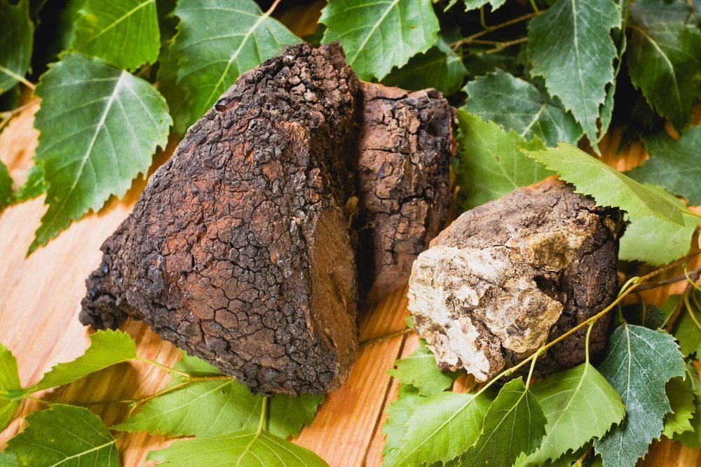 Берёзовый гриб чага фото
